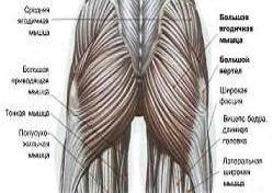 anatomija-jagodichnyh-myshc-i-beder-1