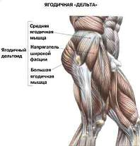 anatomija-jagodichnyh-myshc-i-beder-21